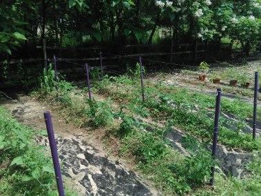 Purple Tomato Trellis